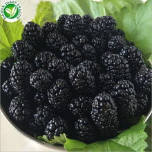 Exporting Bulk Whole Fresh Organic Frozen Mulberry Fruit