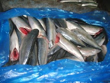 frozen mackerel prices WR / HGT , IQF /BQF frozen <strong>fish</strong> import
