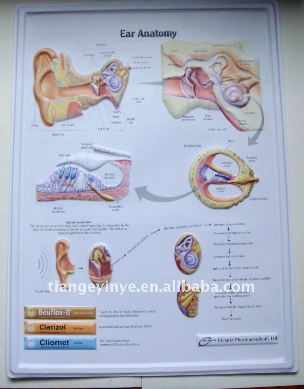 Custom Printable 3D Anatomical Chart(Ear)