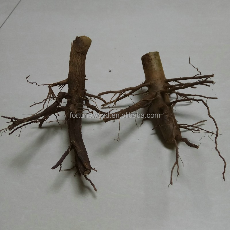 the best paulownia elongata root stem for planting