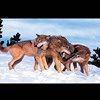 /product-detail/morden-decorative-wild-animal-wolf-3d-picture-for-wall-hanging-60033635285.html