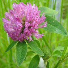 High Quality Red Clover Extract(40%,60% Isoflavones)