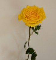 Valentine Day Gift Price List Single Stem Roses Fresh Cut Flowers Colombia