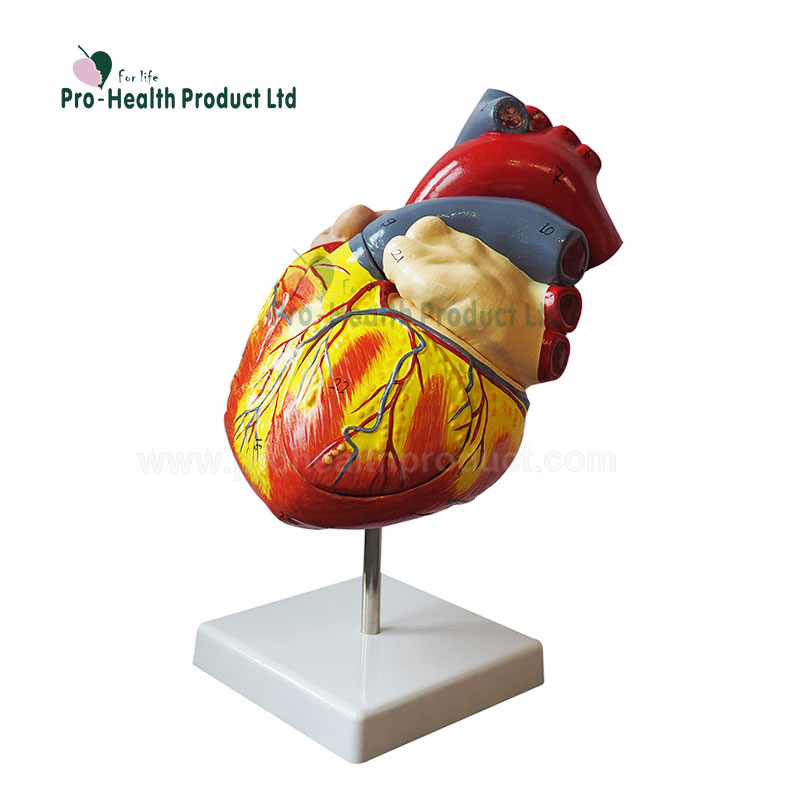 2 Times Life Size 3 Parts Education Organs Heart 3D <strong>Model</strong>