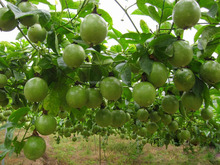High germination rate Passionforaedulis seeds Passionfruit seeds fruit tree seeds for planting