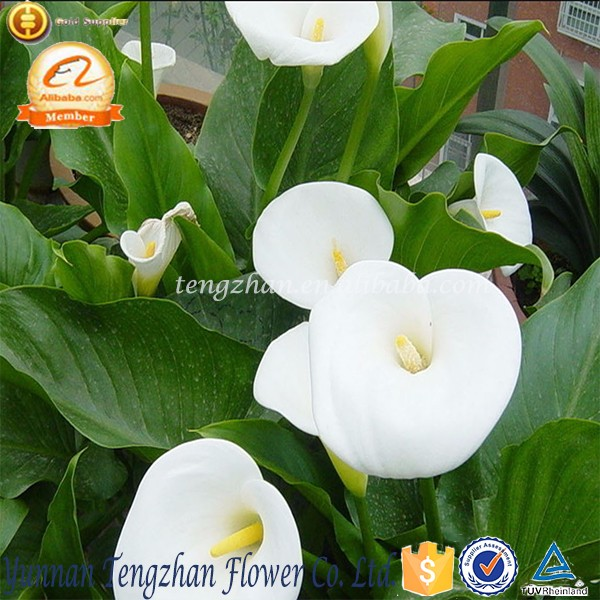2016 Bulk Dried Flowers flavor promotional fresh cut Calla Lily flowering flowers