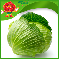 Chinese type green vegetables cabbage Type