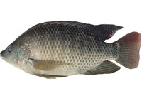 Hot sales Vietnam high quality black tilapia
