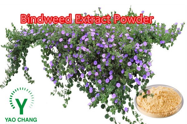 Top quality Field Bindweed (Convolvulus Arvensis) Extract 10:1 20:1