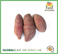 2015 Sunny Orchard fresh sweet potato