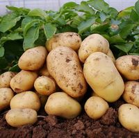 2016 new crop fresh potato at cheap price