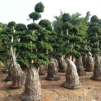 Ornamental out door bonsai ficus big trees