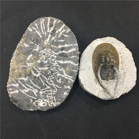 Natural Crystal Healing Irregular America Trilobite Fossil For Decoration