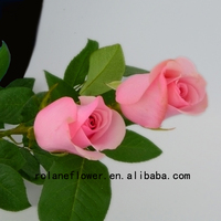 Holland rose white roses High quality valentine festive with 0.8-1.2kg/bundle from Focus/Yunnan Nirvana