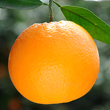 Hot Sell Hand Picked Navel Orange Exporters