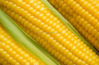 Indian Fresh Yellow Maize Crop 2014 for Best Price