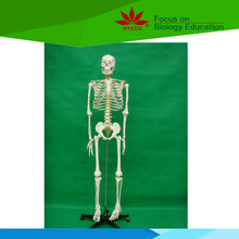 Direct factory supplied doctor teacher use life size 170cm whole body bone model