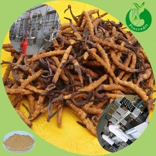 Hot Sale Cordyceps Sinensis Extract Tibet Cordyceps/King of Cordyceps