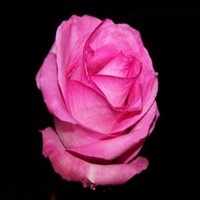 types of for gifts and crafts flowers fresh cut rose for wholesale