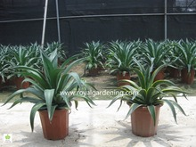 Agave americana ornamental plants