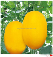 Hybrid F1 golden hami melon seeds For Growing-Tian Mi No.2