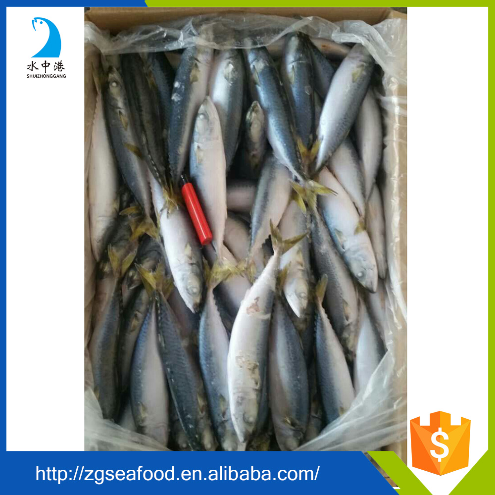 Delicious Block BQF mackerel and frozen spanish mackerel