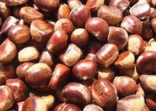 Large pure and natural raw chestnut in bulk , best quality
