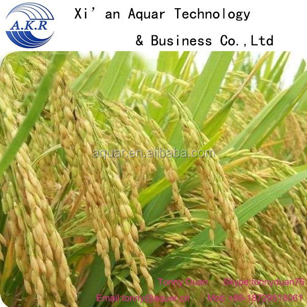 100% natural Angelica root Oil/ Ligustilides HPLC; Ferulic Acid0.1%-1% GC