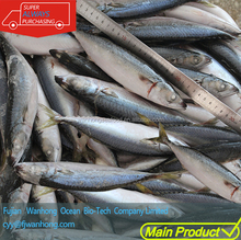 whole round frozen pacific mackerel prices IQF scomber japonicus for human consuption