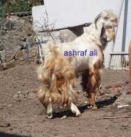 Indian goats for sale