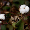 2017 Touchhealthy supply High budding rate hybrid cotton seeds for growing