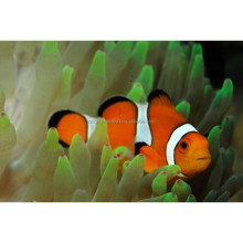Live ornamental marine tropica aquarium Clown fish