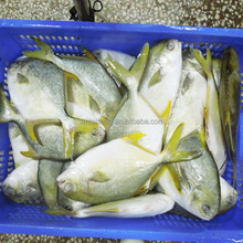 Frozen Seafood Whole Round Golden Pompano Fish