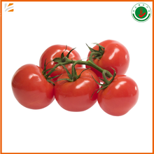wholesale bulk organic good quality fresh tomatoes with best price