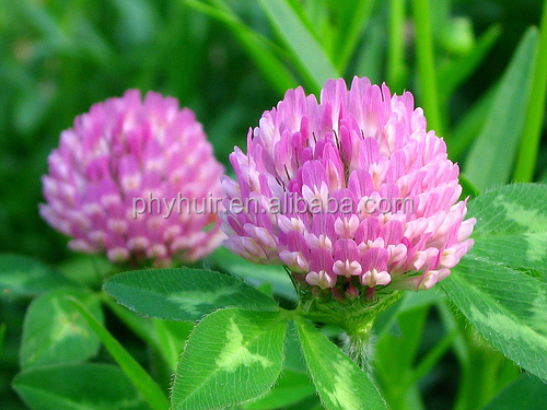 Hot Selling Resonable Price Red Clover P.E./2.5%~40% Isoflavone
