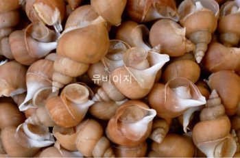 whelk / conch