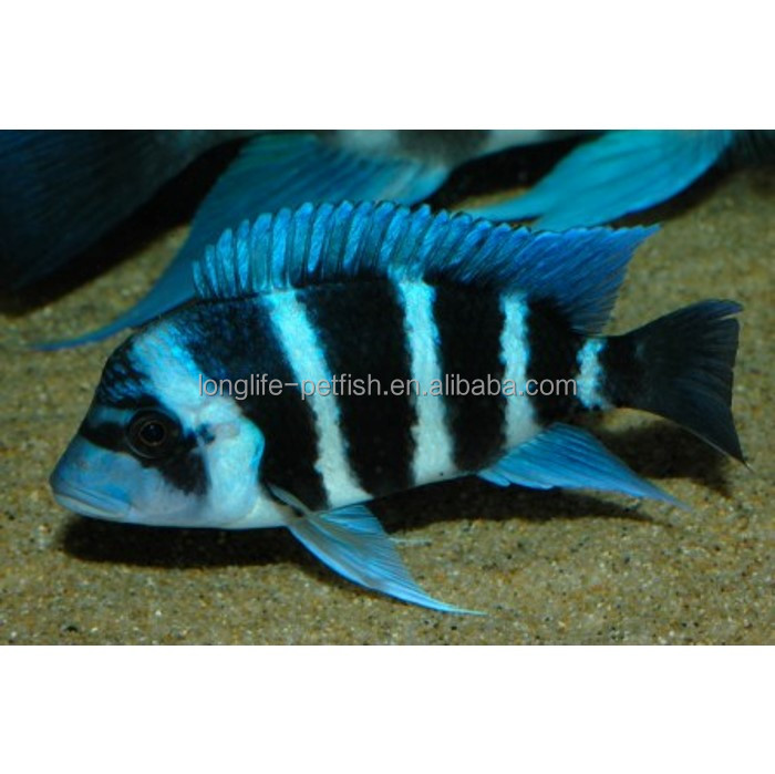 Best Selling Products Cyphotilapia Frontosa Blue Zaire Ornamental Live Fish