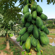 Touchhealthy supply good quality red lady hybrid papaya seeds for sales from TAIWAN