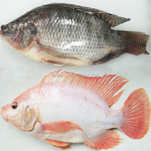 Tilapia Frozen Black and Red Tilapia Fish