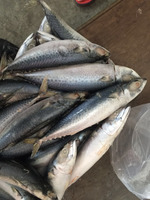 BQF Big Size Frozen Pacific Mackerel For Market