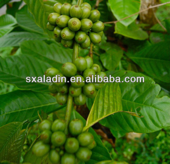 Top Quality Green Coffe Bean Extract with 10% -98% Chlorogenic Acid