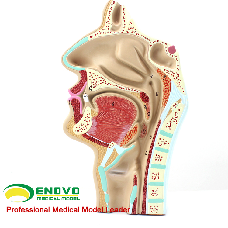 Ent Anatomy 12511 Healthy Human Oral Nasal Cavity Anatomical Model ...