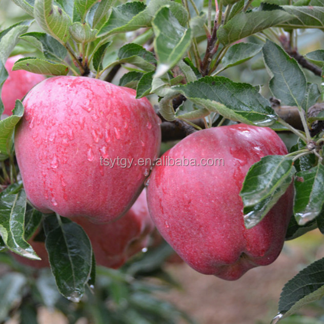 Pome fruit product type and fresh style red delicious apple fresh huaniu apple