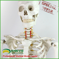 Annual sales promotion Item Plastic Medical Human Skeleton Anatomical Model G170-1P