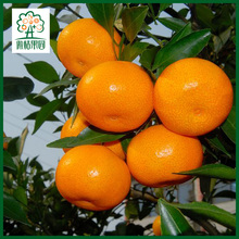 Fresh Nanfeng baby mandarin orange fruit