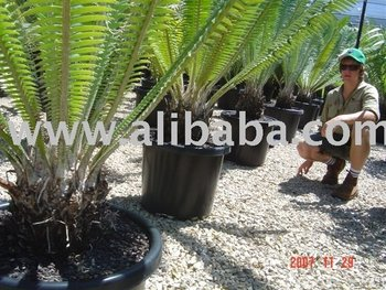Sell Rare Cycad Plants