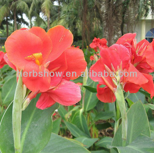 Beautiful Flower Canna Glauca Seeds for Sowing
