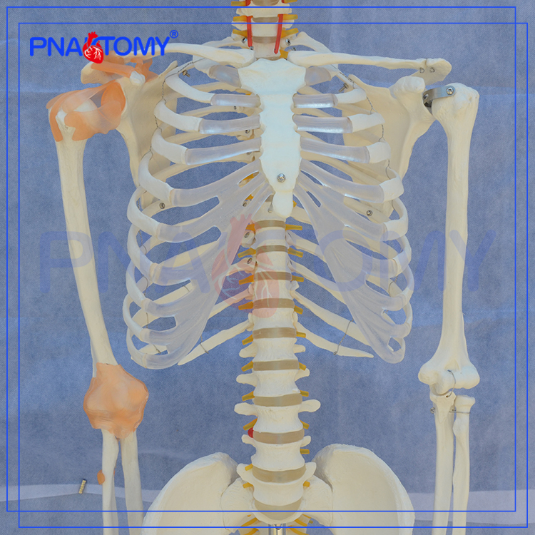 PNT-0104 Teaching model for biology 180cm high skeleton model with joint ligament