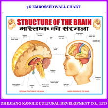 Newly india and English language wall chart with brain system anatomy