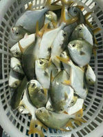Frozen fish golden pomfret whole round